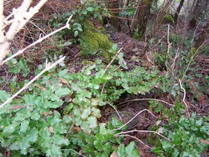 oregon-grape-habitat