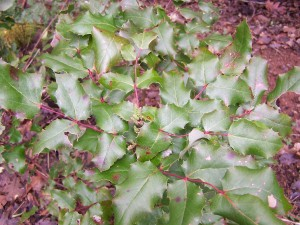 oregon-grape-plant1