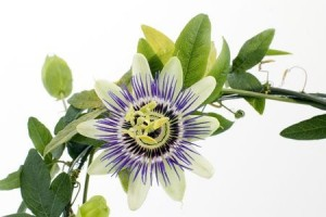 passionflower bloom